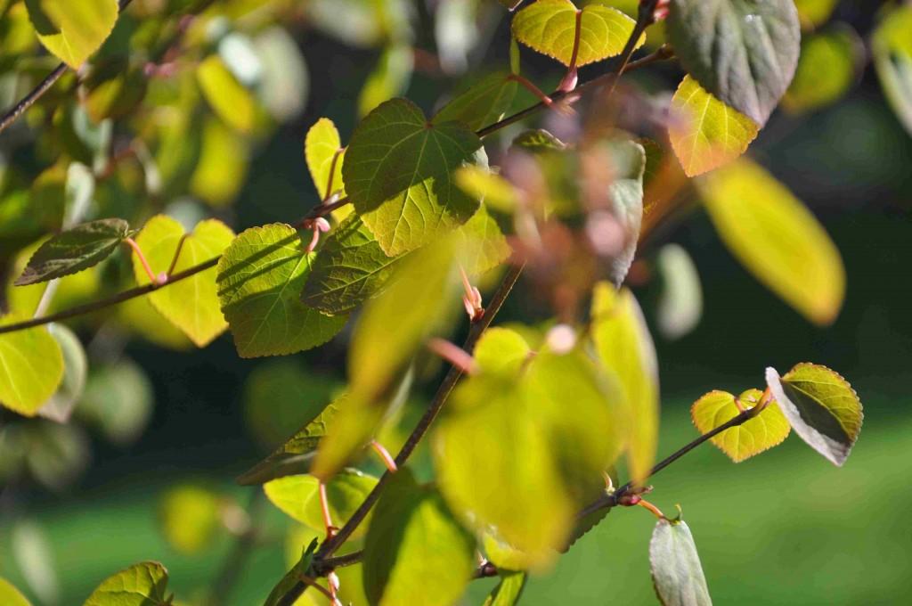 Nyutspruckna blad av Cercidiphyllum japonicum är vackra i vårsolen.