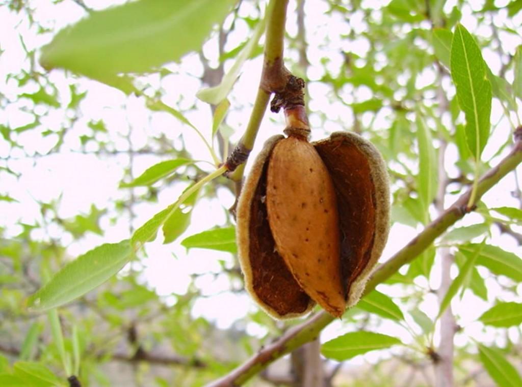 Mandelfrukten spricker upp på hösten och då faller den ätliga mandeln till marken.