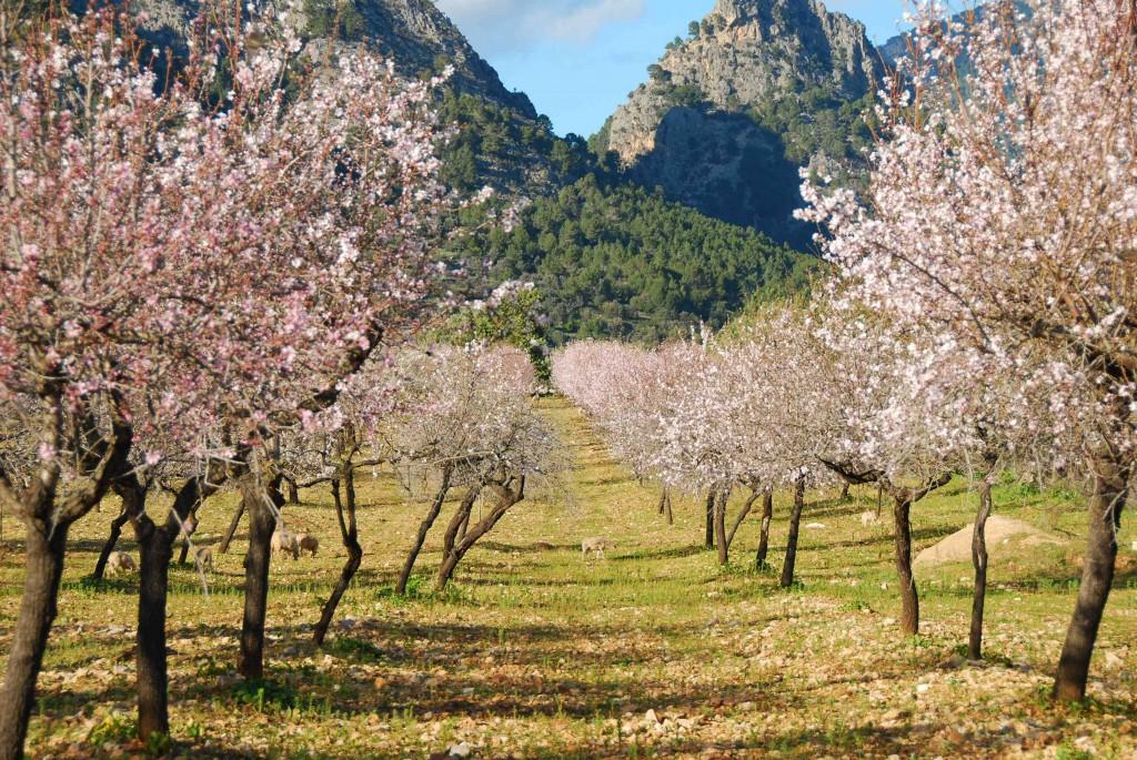Madelträden blommar med lätta ljusrosa skyar tidigt om våren.