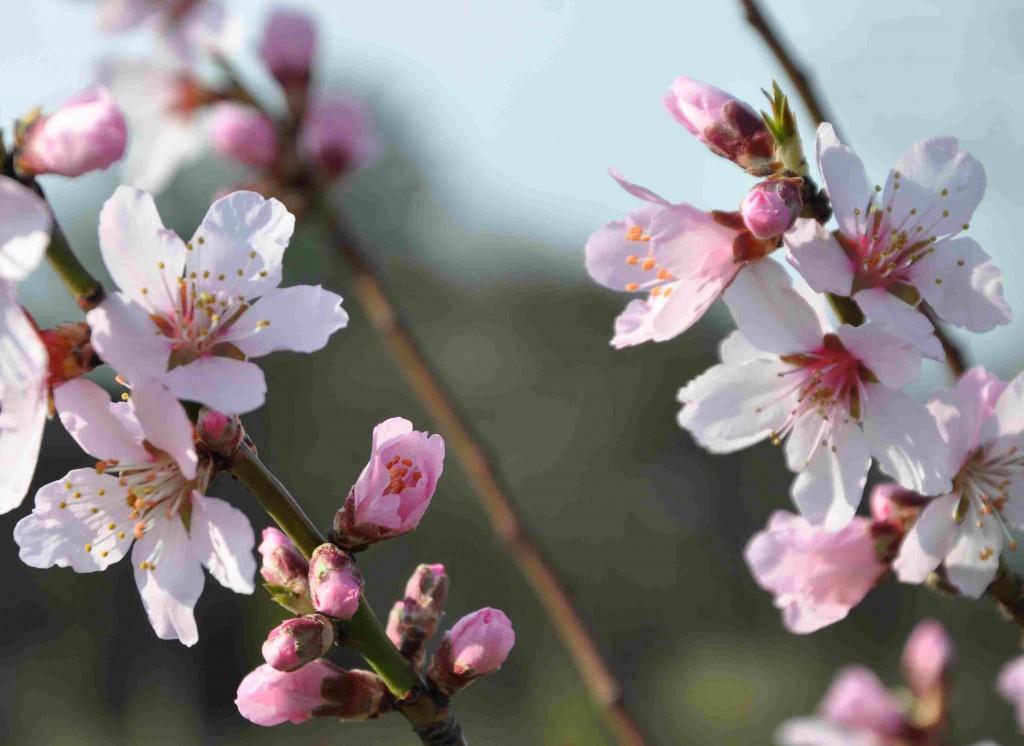 Mandelträdet har en ljuv blomning tidigt om våren.