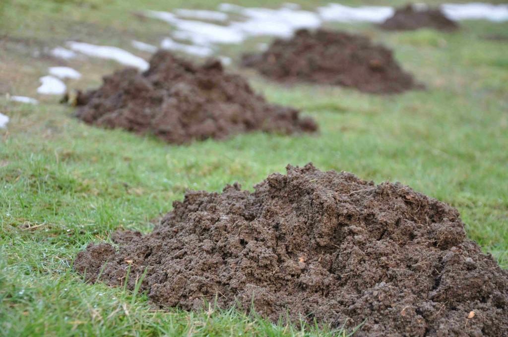 Mullvadarna trivs under snön och gräver gångar.