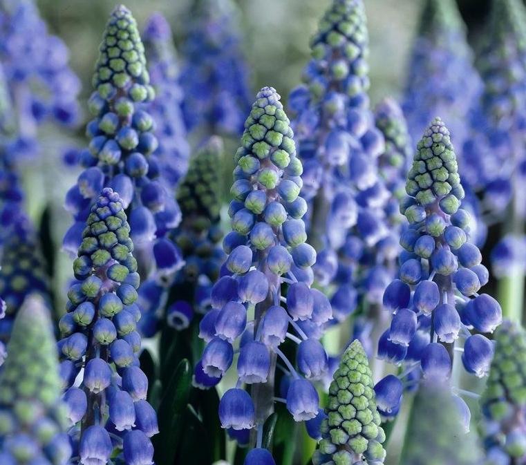 Pärlhyacinter finns i blått och vitt och de är lämpliga att plantera inomhus för vårkänsla.