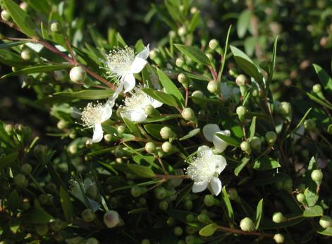 Myrten har doftande blommor som små vita stjärnor.