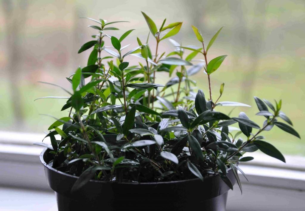 Ta sticklingar från din myrten så får du många nya plantor.