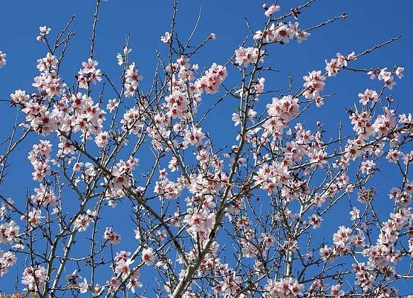 Mandeln blommar först av alla stenfrukter och måste pollineras med pensel på våra breddgrader.