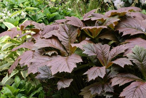 Rodgersia är en växt som trivs både i sol och skugga, men den vill ha god markfukt.