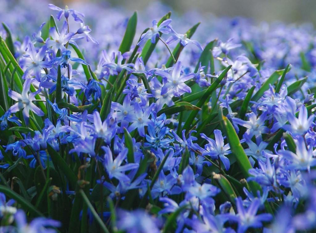 Vårstjärnan sprider sig villigt bland buskar och blommar tidigt om våren.