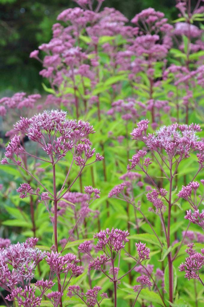 Flockelväxterna vill ha fukthållande och näringsrik jord.