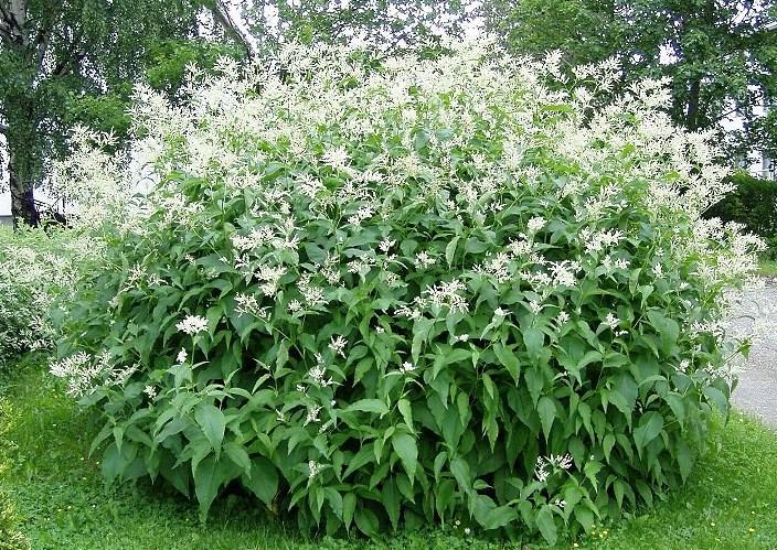 Finnslide har en vacker blomning med vita vippor.