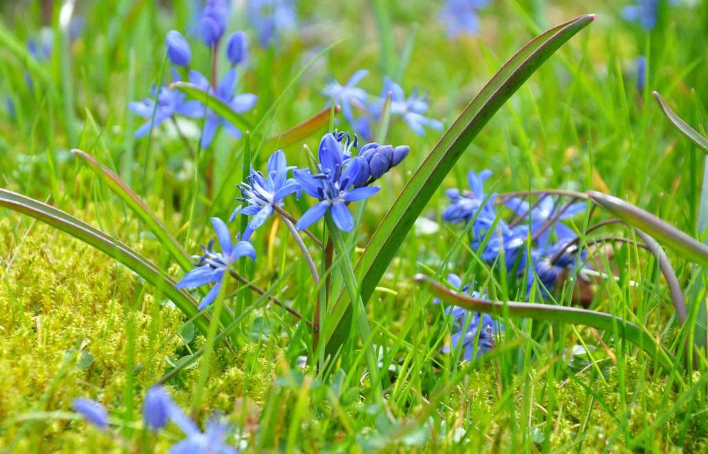 Blåstjärnor finns det av många olika arter som blommar tidigt om våren.