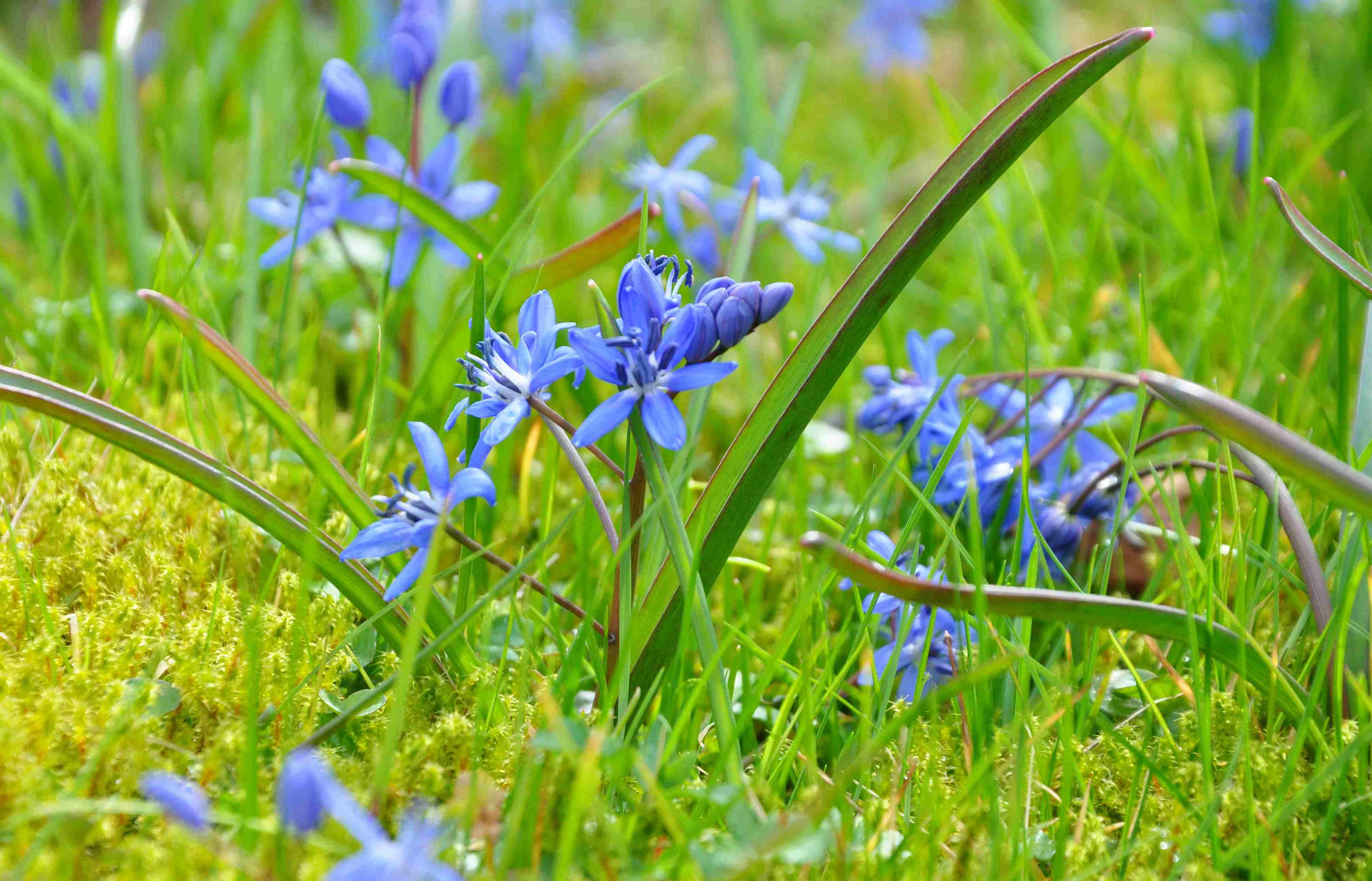 tidiga blommor i trädgården