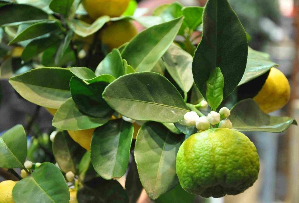 Citrusträd blommar samtidigt som du kan skörda frukt.