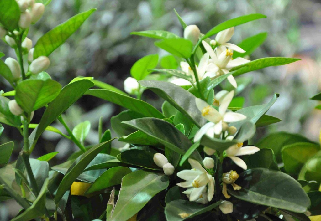 Citronträd blommar ofta med många blommor samtidigt.