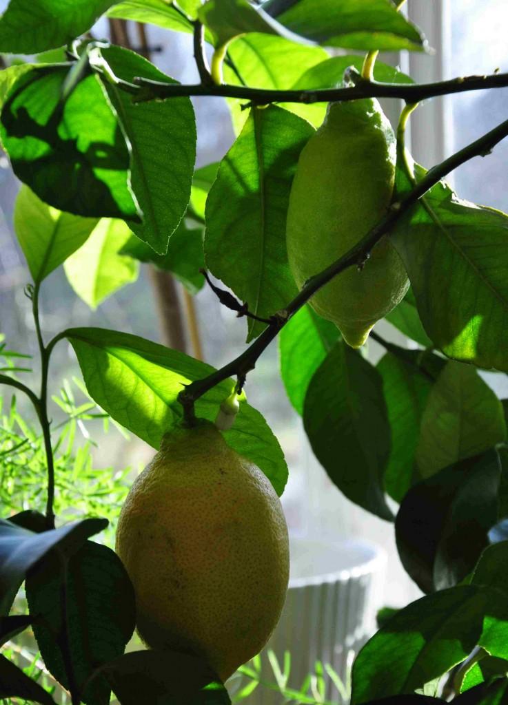 Citrusträd blommar samtidigt som frukterna mognar.