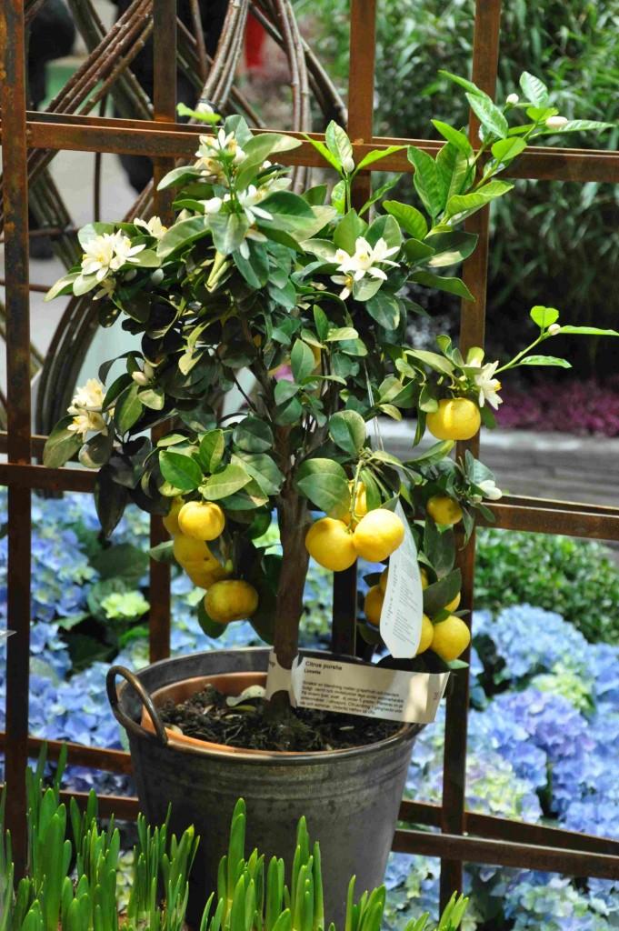 Ett citronträd ska stå inomhus på vintern, men flyttas ut i solen om sommaren.