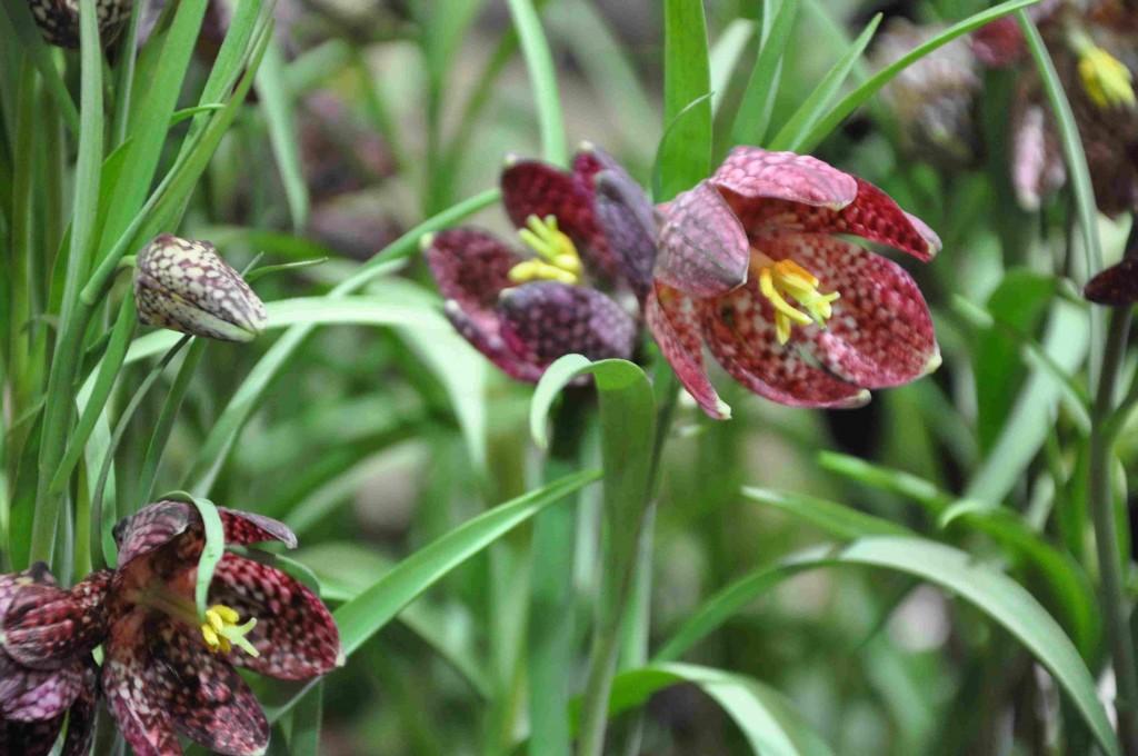Kungsängsliljor är underbart vackra vårväxter som kräver en kalkrik jordmån.
