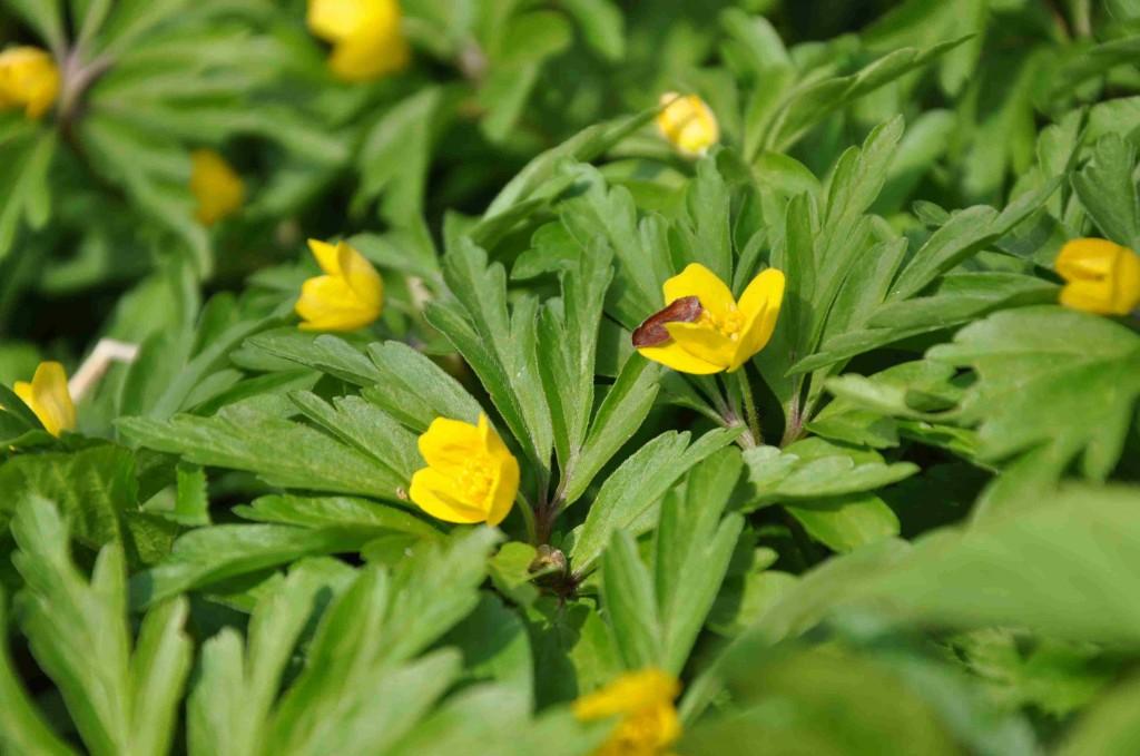 Gulsippan är nära släkt med vitsippan men blommar något senare.