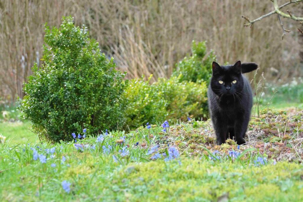 Blåstjärnor i gräsmattan beundras av min vackra katt.