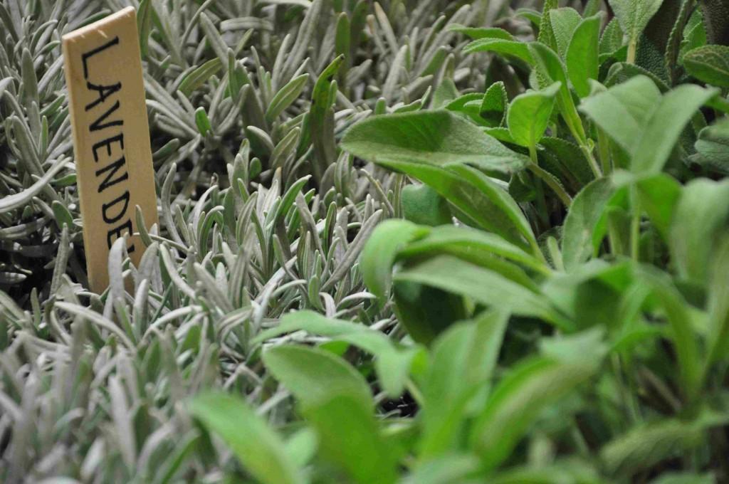 Lavendel och salvia är aromatiska växter som passar även för den lilla trädgården.
