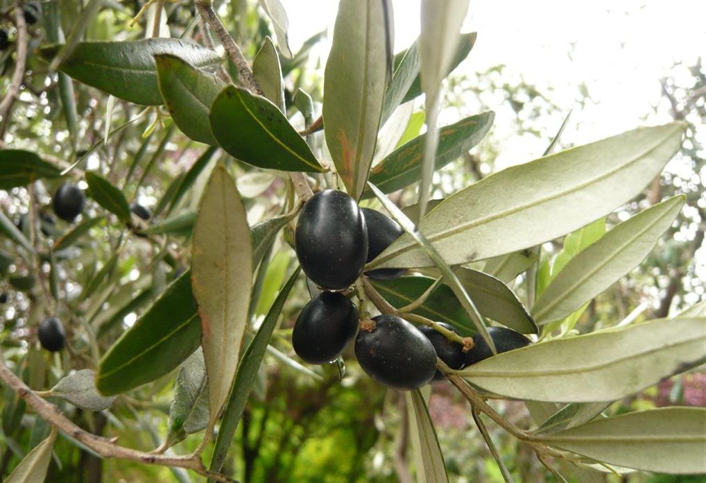 När oliverna mognar blir de svarta.