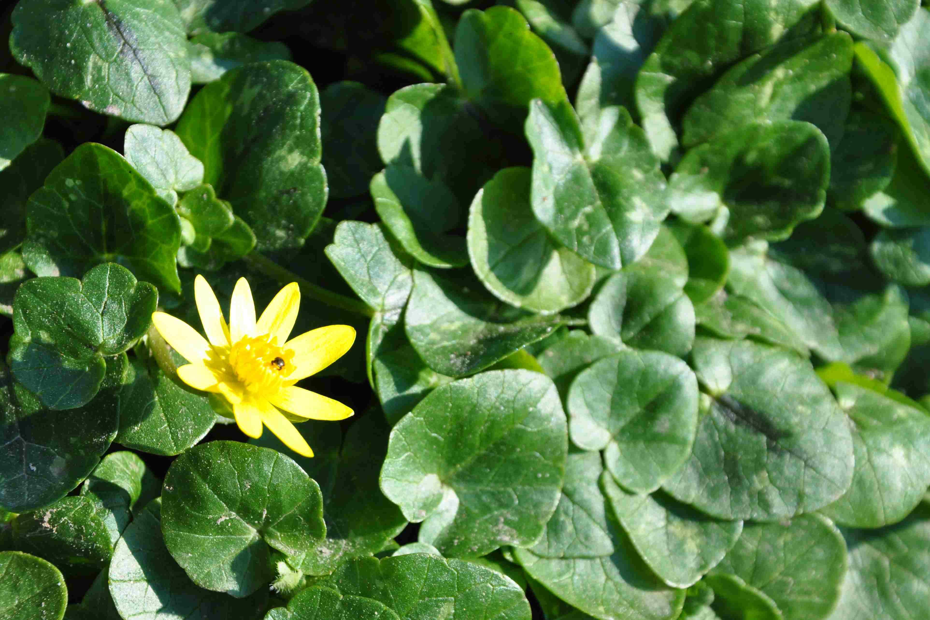 gul vårblomma namn
