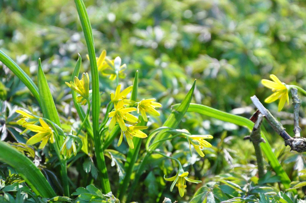 Vårlöken bildar små tuvor av sidolökar intill huvudlöken.
