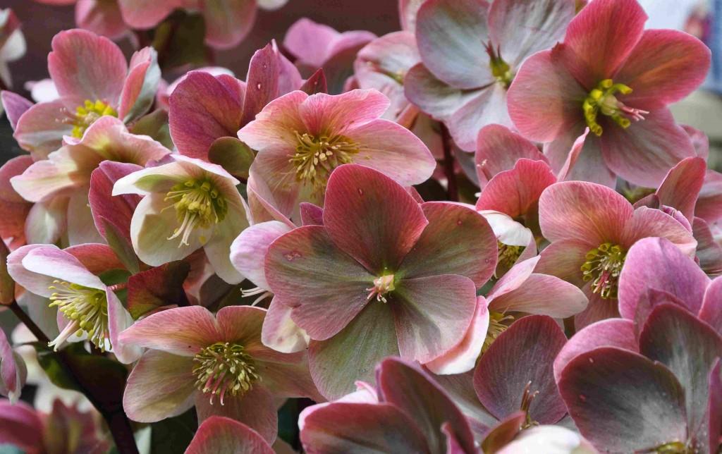 Julrosorna behåller ofta sina foderblad under flera månader, fast de växlar färg.