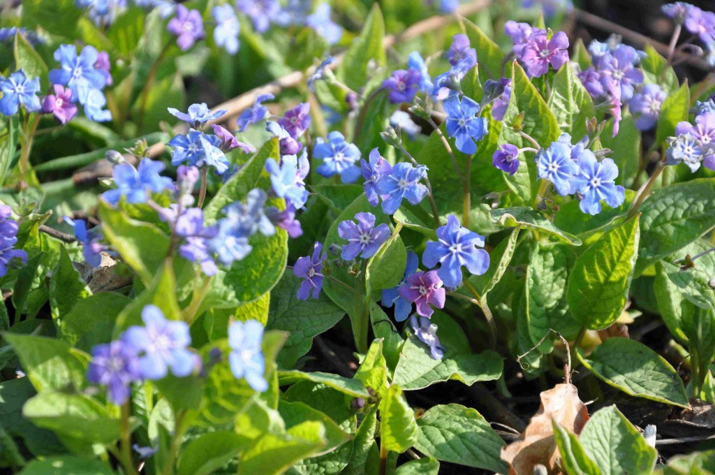 Ormögat är en blåblommande, marktäckande växt under buskar och träd.