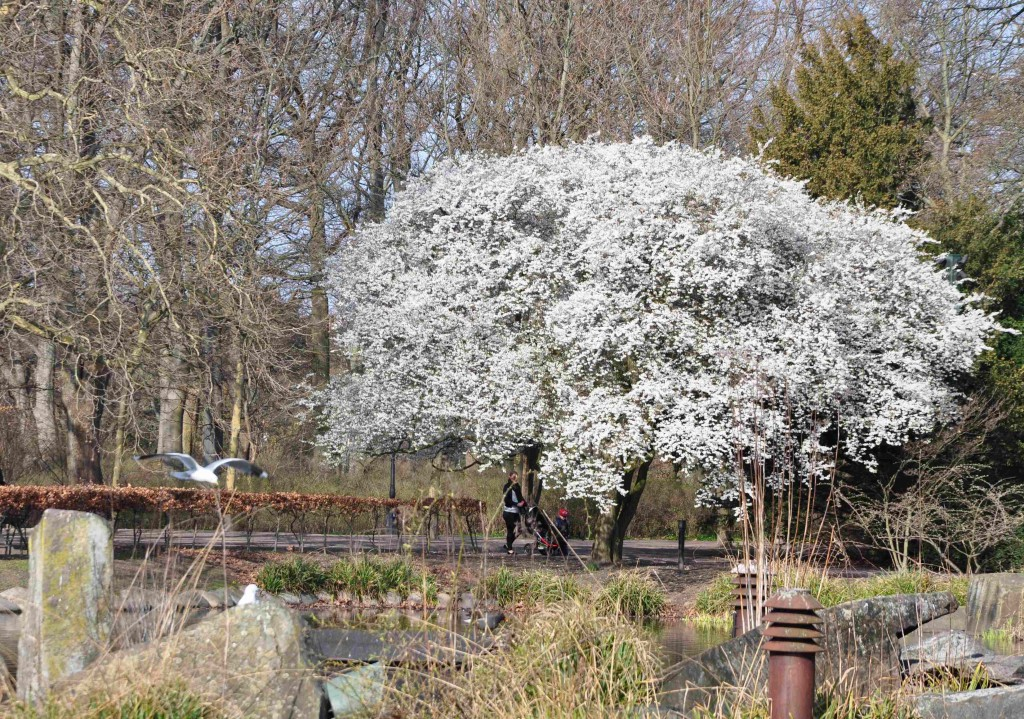 Körsbärsplommon är ett litet, rundkronigt träd med den tidigaste blomningen av alla träd.