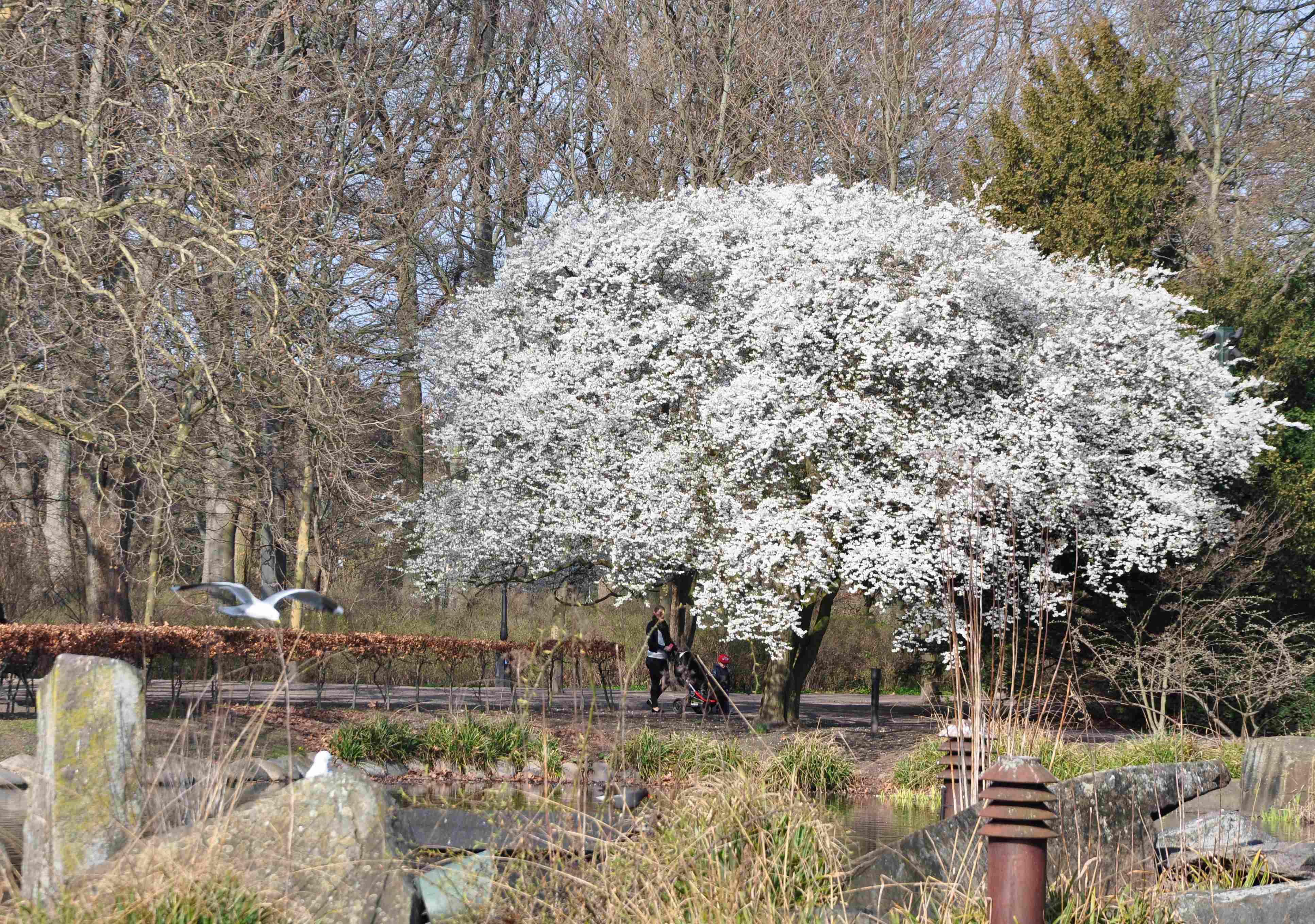 blommande träd vår
