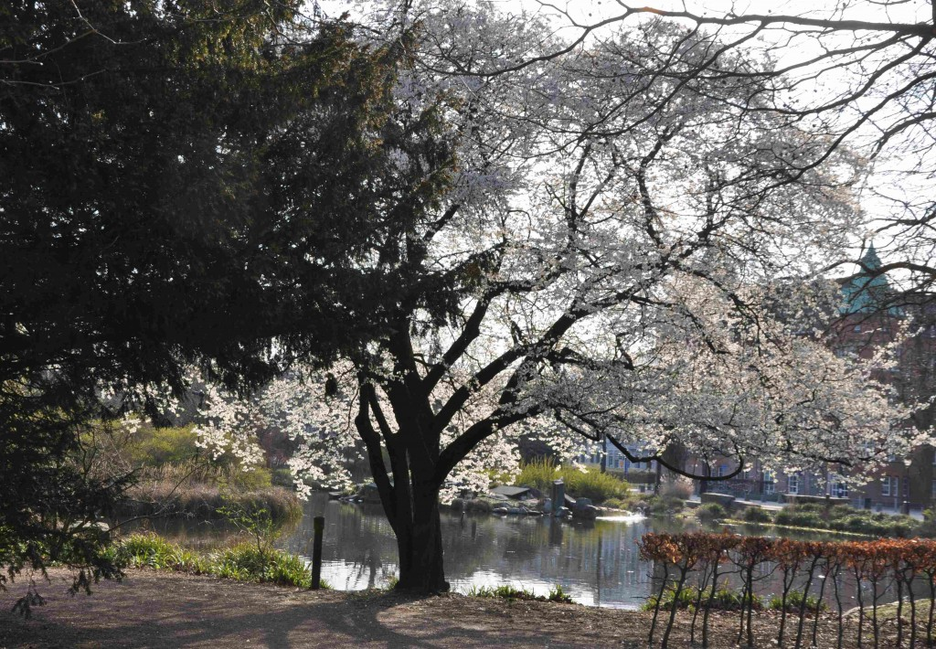 Körsbärsplommon har ett brett växtsätt med överhängande grenar och rik blomning.