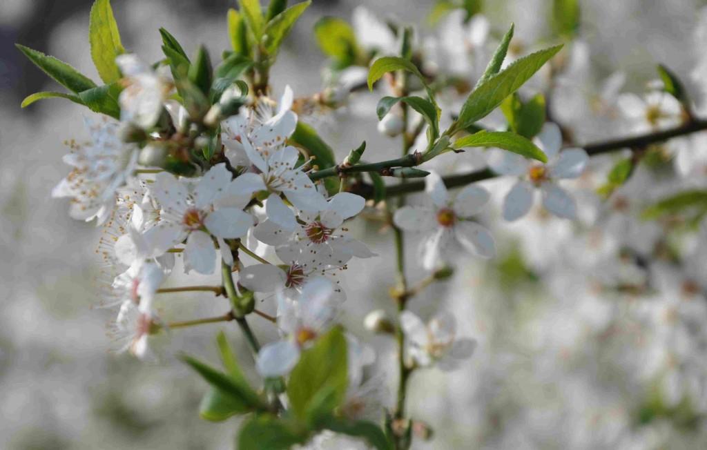 Blommorna sitter tätt på körsbärsplommonet.