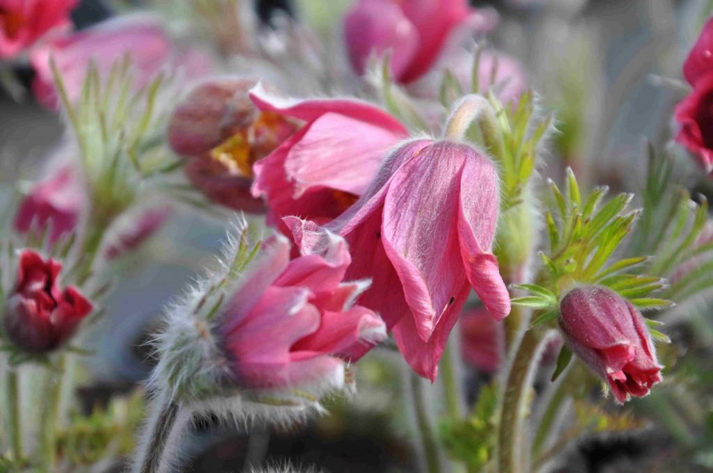 Backsippan har vackra, stora klockor som blommar tidigt om våren.