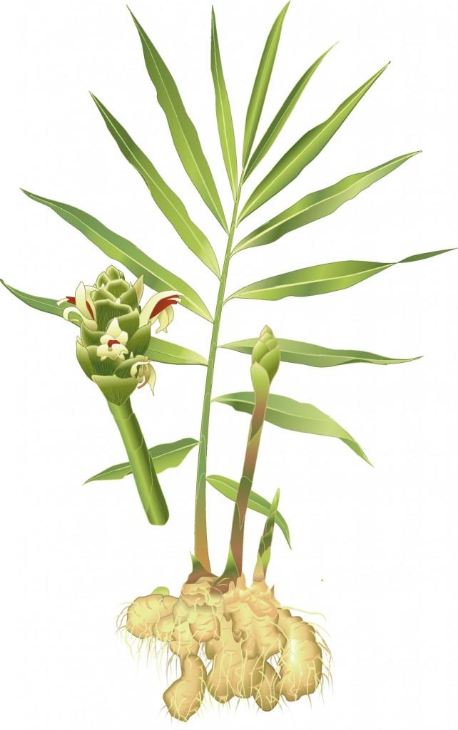 Ingefäraplantan kan bli en meter hög med palmliknande blad.
