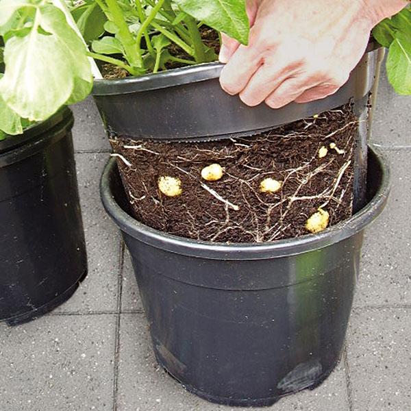 Potatis kan odlas i både kruka och pallkrage.