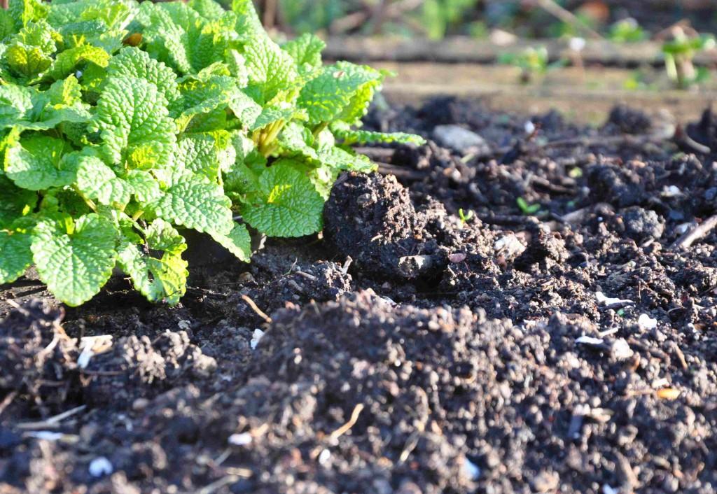 Kompostjord tillförs på våren och myllas ner i ytskiktet.