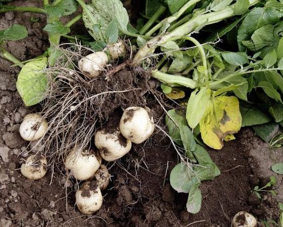 Tidig potatis är en snabb gröda om bara jord- och fuktförhållandena är de rätta.