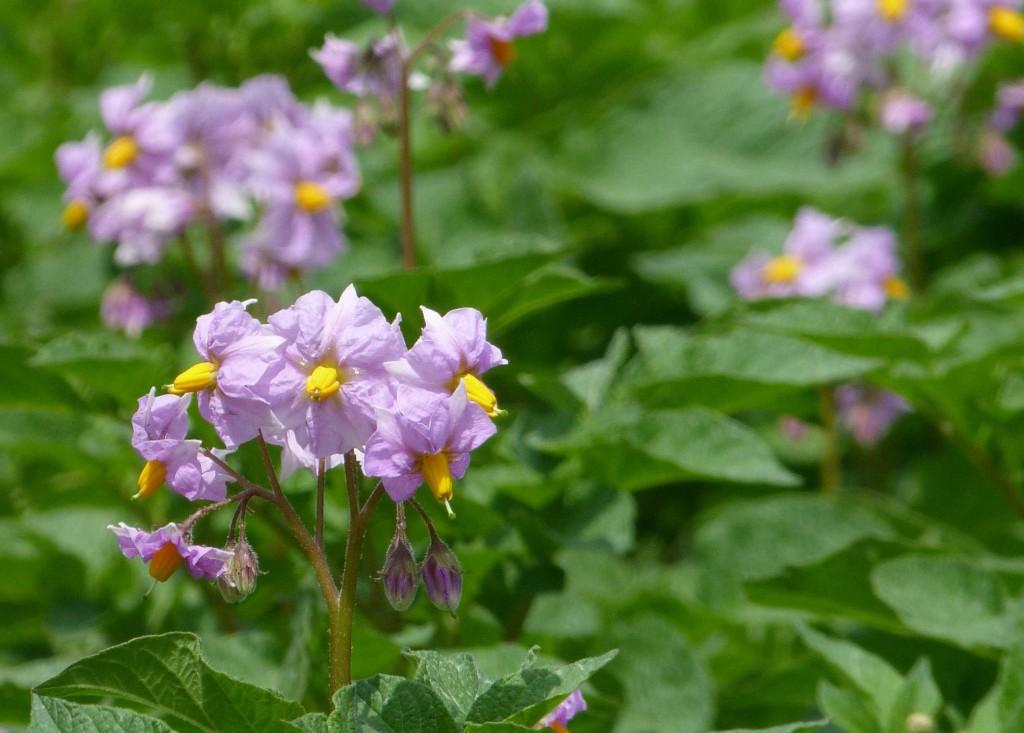 Potatisen blommar i vitt, blått eller lila.