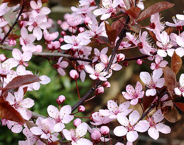 Blodplommon har mörkt röda blad och en rosa blomning.