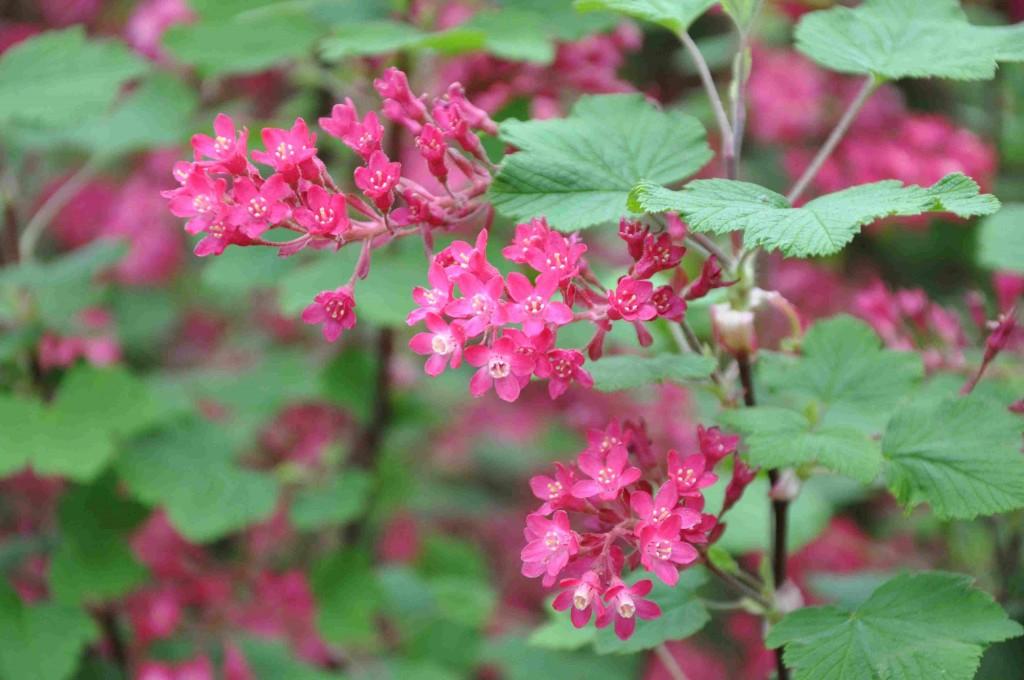 Rosenröda läppar och tuggummi är vad jag tänker på när jag ser rosenripsen blomma.