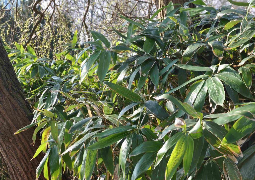 Palmbladsliknande blad och smala rör är kännetecken för kurilerbambun.