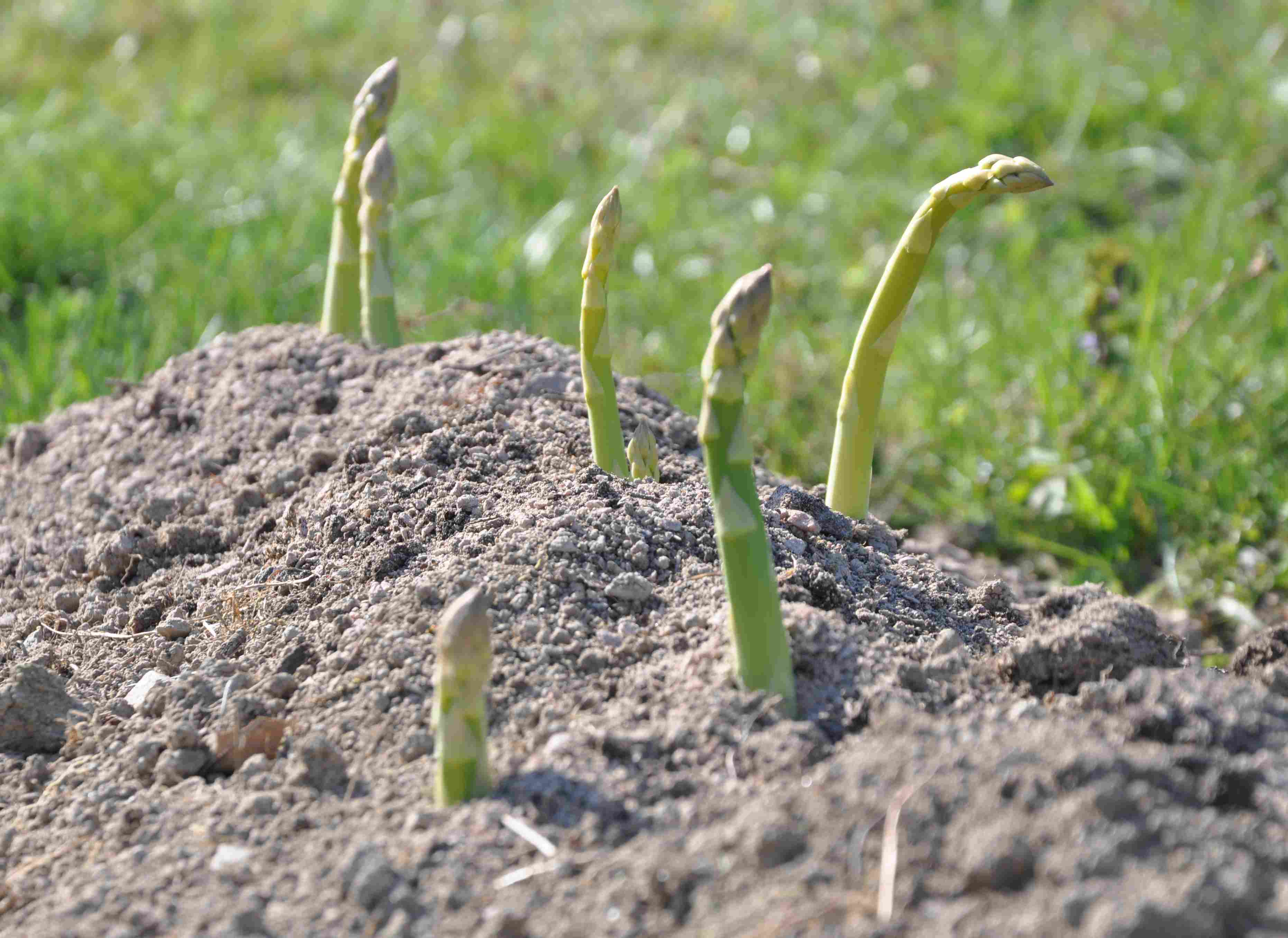 hur växer sparris