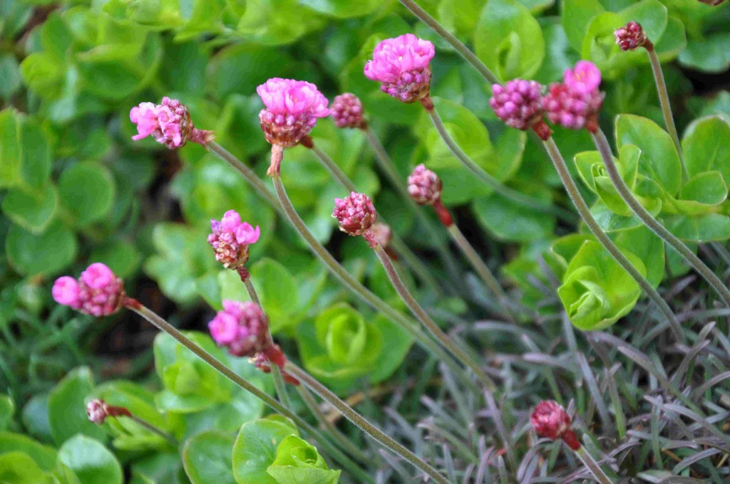 Triften blommar i maj på torra jordar.