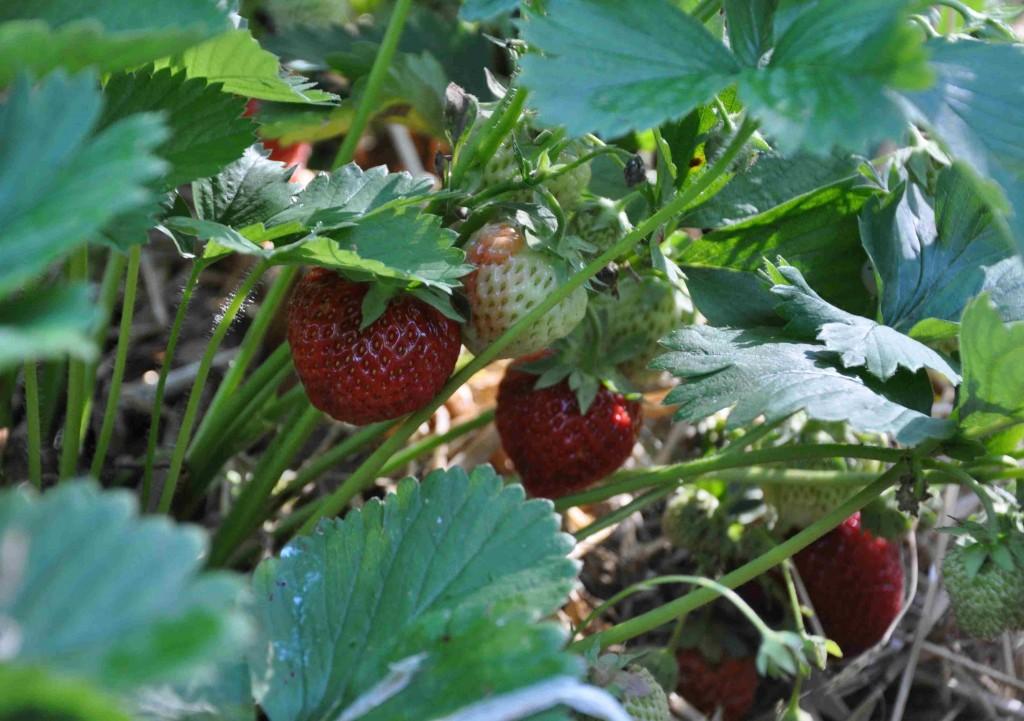 Några jordgubbsplantor borde absolut få plats i odlingen.