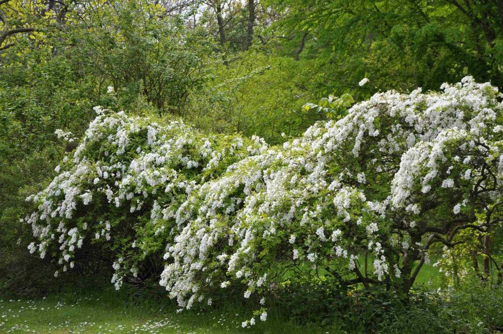 Pärlbusken blir bred och får hängande grenar som äldre.