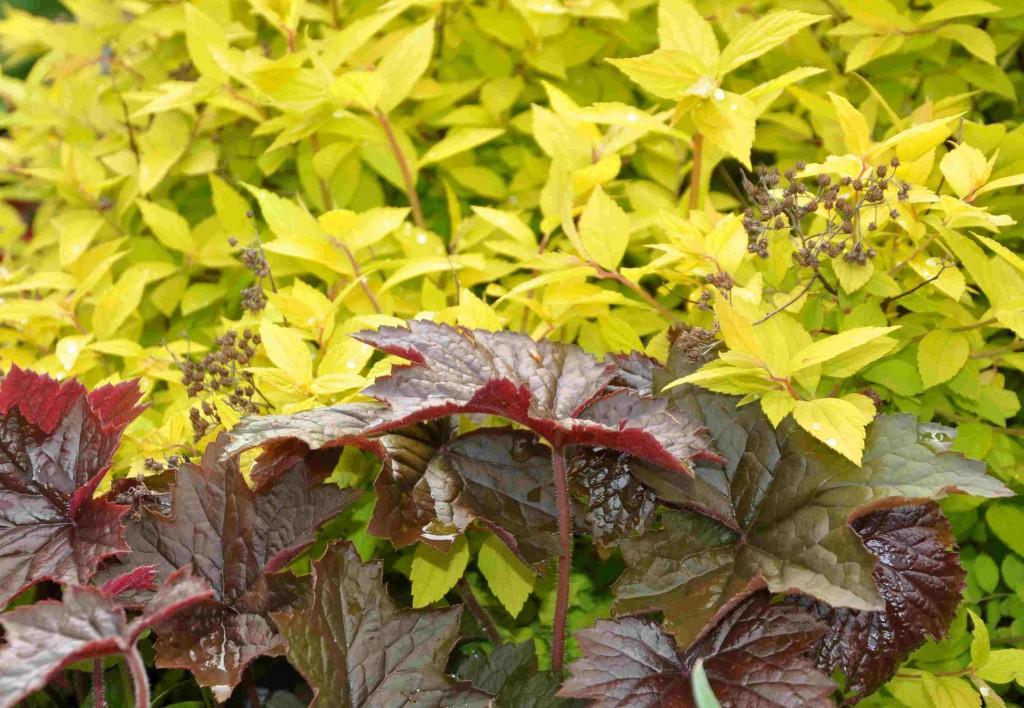 Alunrot är en bra kontrastväxt då många sorter har knalliga färger.