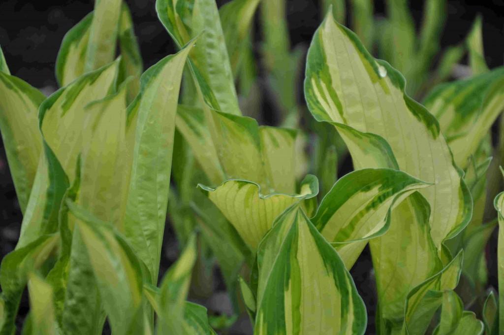 Gulbladig funkia är fin i kombination med mörkbladiga växter.