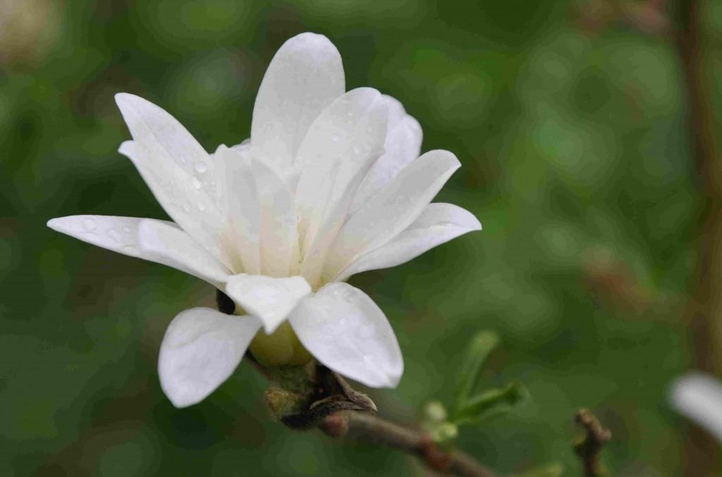 Stjärnmagnolian har många smala kronblad och en benvit färg.