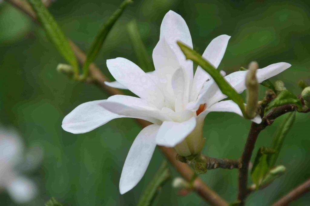 Stjärnmagnolian är en liten rund buske som vill stå skyddat.