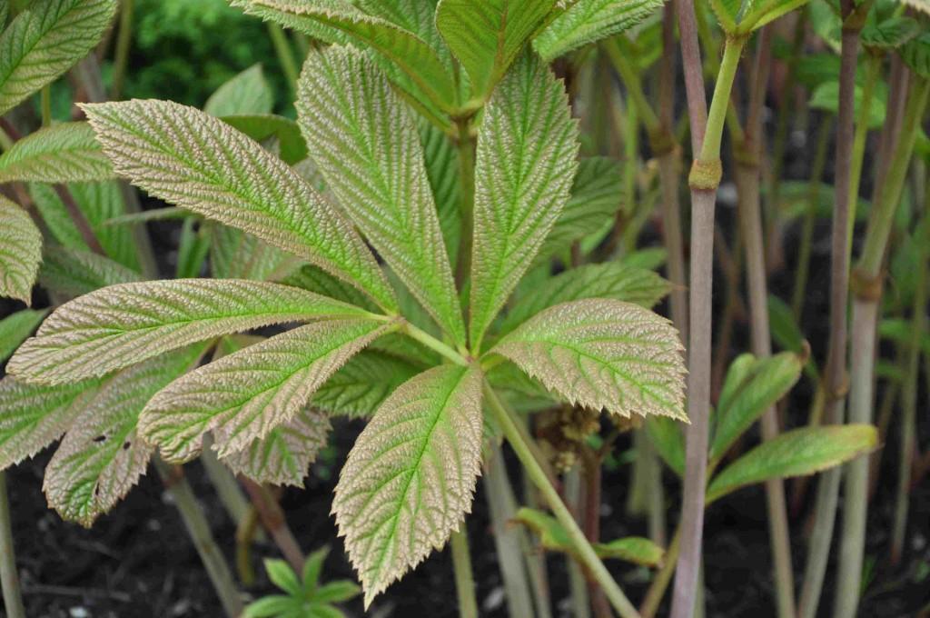 Fingerrodgersians mångflikiga blad är kraftigt ådrade och skiftar svagt i kopparfärg.